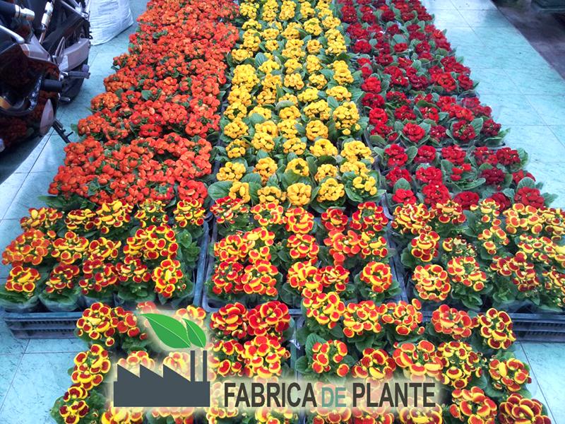 Calceolaria - Fabrica de Plante