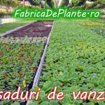 rasadur-flori-de-vanzare-2013