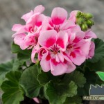 flori de gradina