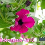 petunii-curgatoare-de-vanzare-2013-03