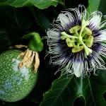 Passiflora edulis flavicarpa - floare si fruct necopt