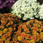 Crizanteme de vanzare 2014