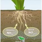rolul-azotului-in-plante